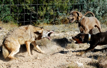Coyote Control in Sacramento – Nuisance Removal Services