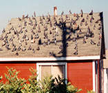 pigeon control in residential area.