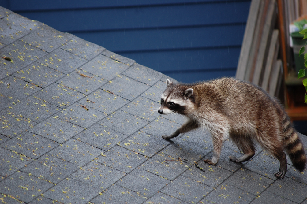 how to get raccoon off roof