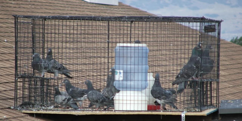 Pest-Bird-Trapping-Cages.jpg